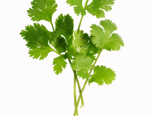 Top 12  Benefits of Cilantro